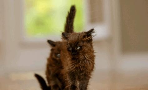 Котята шантильи-тиффани
