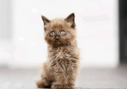 Котёнок шантильи-тиффани