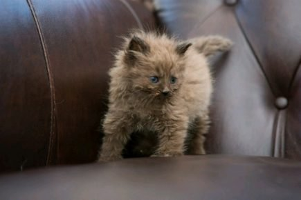 Котёнок шантильи-тиффани на диване