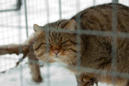 Амурский лесной кот в клетке