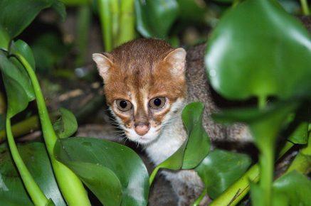 Суматранская кошка в природе