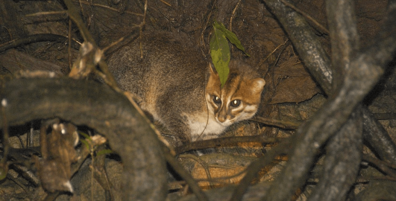 Суматранская кошка в лесу