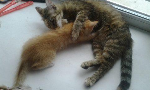 Котёнок сосёт мать