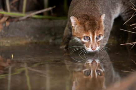 Суматранская кошка у водоёма