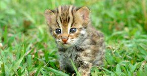 Котёнок азиатского леопардового кота