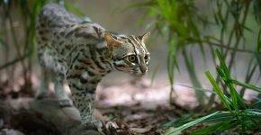 Леопардовый кот охотится