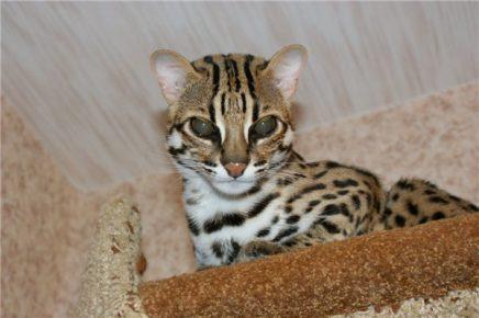 Леопардовый кот на лежанке под потолком