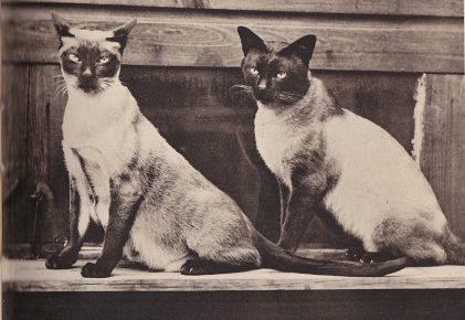 Сиамская и тайская кошки