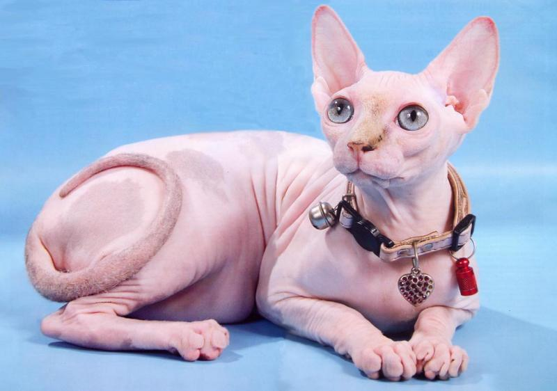 Кошки которые не линяют или какие кошки меньше всего линяют