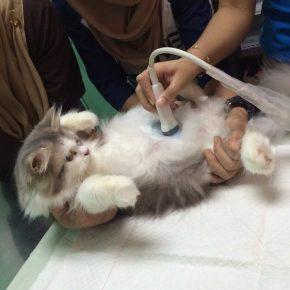 УЗИ беременной кошки