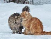 Самые пушистые кошки