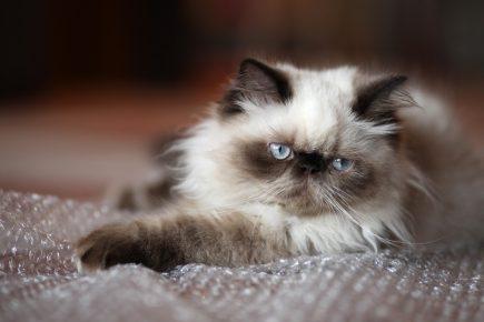 Гималайская кошка лежит