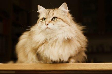 Сибирская кошка популежит