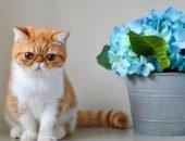 Кот-брахицефал (экзот)