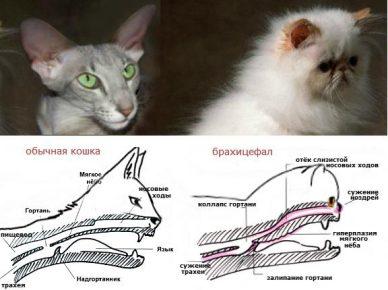 Строение черепа брахицефала и обычной кошки