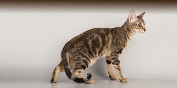 Охотничья стойка кота