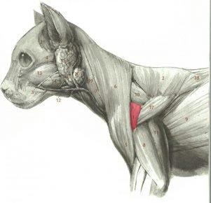 Мышцы передней части тела кошки