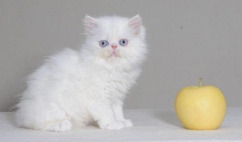 Котёнок белого окраса