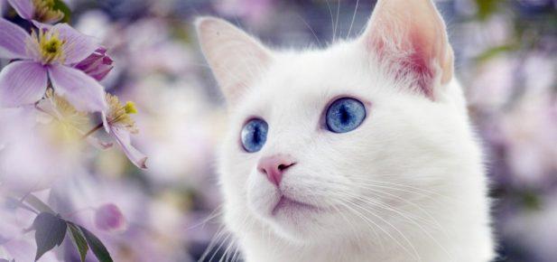 Белая кошка с голубыми глазами на фоне цветов