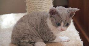 Котёнок рекса