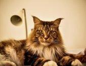 Мейн-кун - кот с кисточками на ушах
