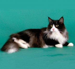 Черно-белая кошка с кисточками на ушах