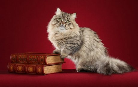 Кот породы наполеон и книги