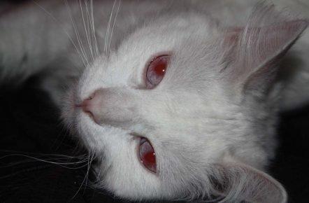 Кот-альбинос с красными глазами