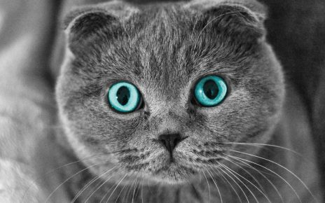 Шотландская вислоухая кошка с голубыми глазами