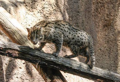 Виверровый кот на бревне