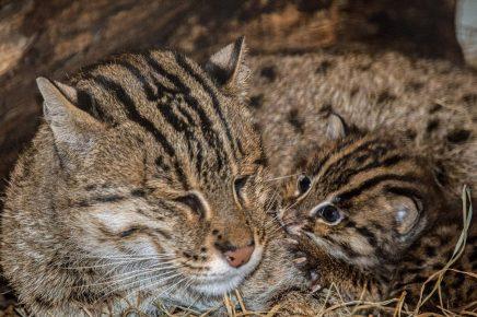 Виверровая кошка с детёнышем