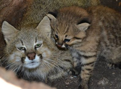 Пампасская кошка с детёнышем
