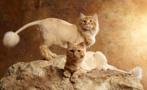 Постриженные коты на камне