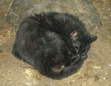 Чёрный пампасский кот