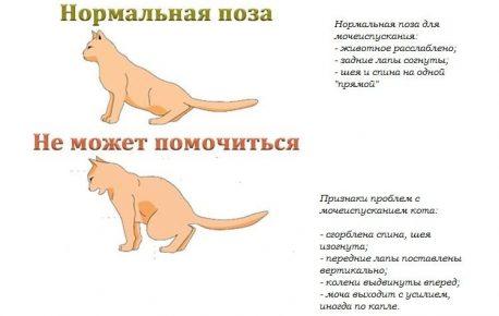 Поза кошки при затруднениях в мочеиспускании