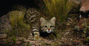 Пампасский кот в зоопарке