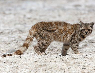 Андская кошка гуляет