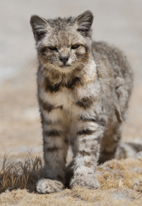 Андская кошка на природе