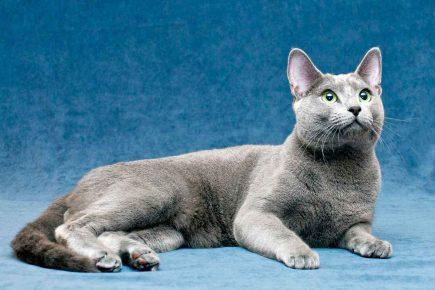 Грациозная русская голубая кошка