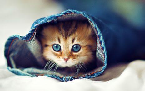 Голубоглазый котёнок в джинсовой штанине