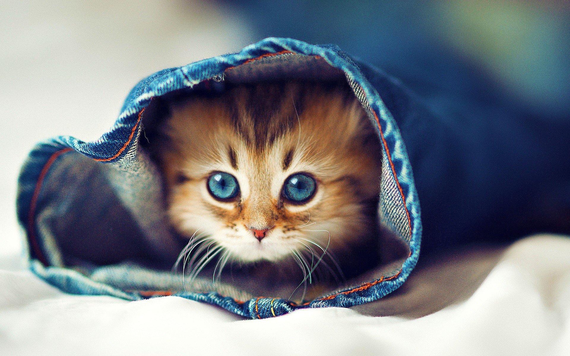 Как у британских котят меняется цвет глаз