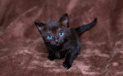 Чёрный котёнок с голубыми глазами