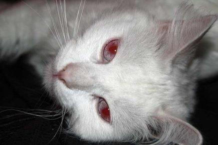Кошка с красными глазами