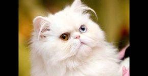 Разноглазая персидская кошка