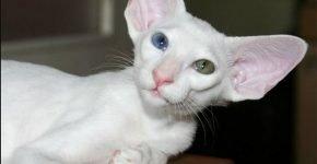 Разноглазая белая ориентальная кошка