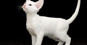 Котёнок ориентал