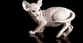 котёнок породы сфинкс
