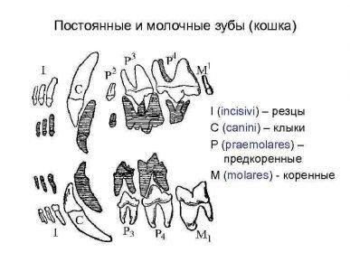 Молочные и постоянные зубы кошки