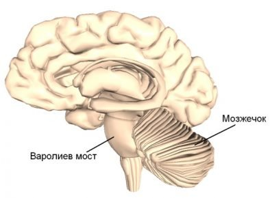 Расположение варолиева моста в мозгу