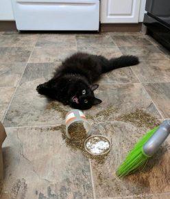 Кот лежит на полу рядом с сухой кошачьей мятой